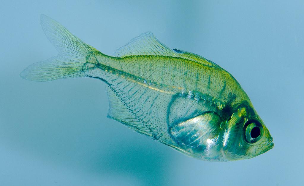 Indian Glassfish_4