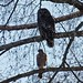 Barred Owl and Cooper's Hawk by Dunbar Gardens