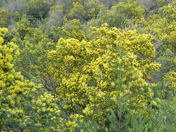 dans les bois de mimosa