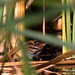 Small photo of Baillon's Crake