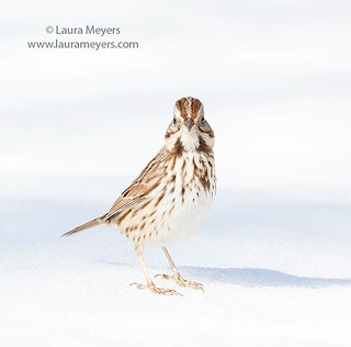 Song Sparrow in Snow