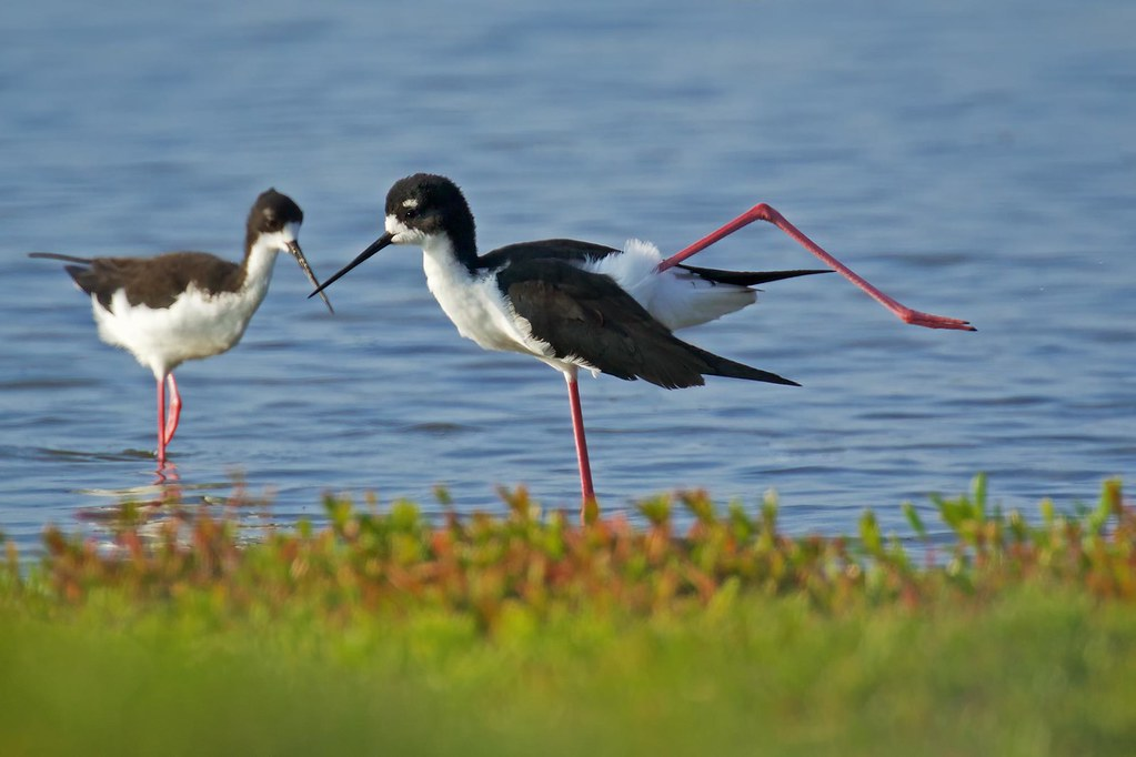 Hawaiian Stilts (rs) | Finding these endangered Stilts was o… | Flickr
