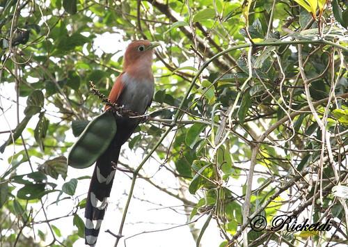 ngc npc piayacayana squirrelcuckoo piayeécureuil birdofcostarica