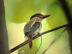Lilac-cheeked Kingfisher (f) _ Tangkoko