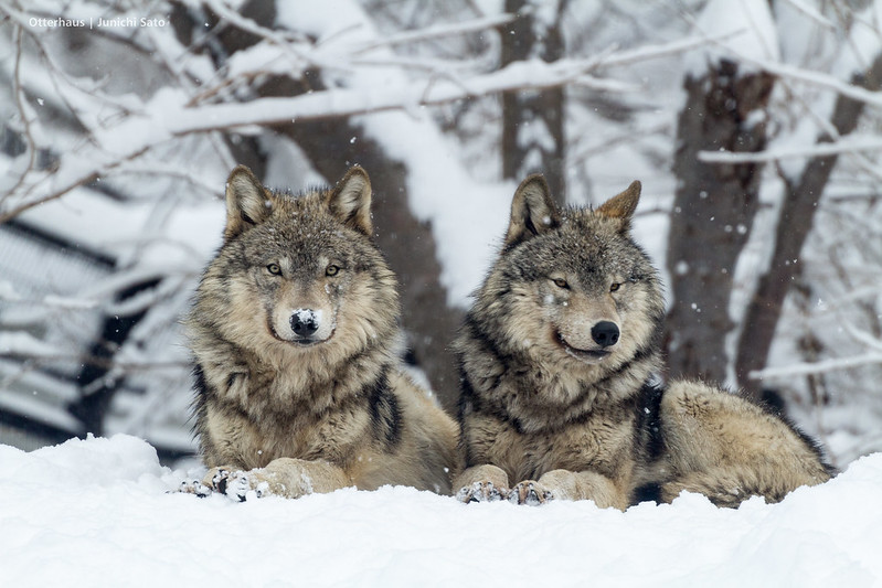 Timber wolf, Sapporo Maruyama zoo