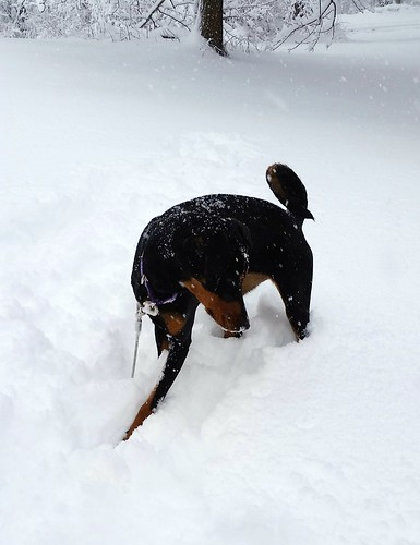 Doberman puppy loves the snow #adoptdontshop #LapdogCreations