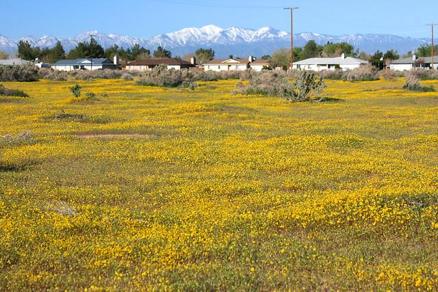 Lasthenia fields