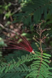 Calliandra houstoniana (Fabaceae)