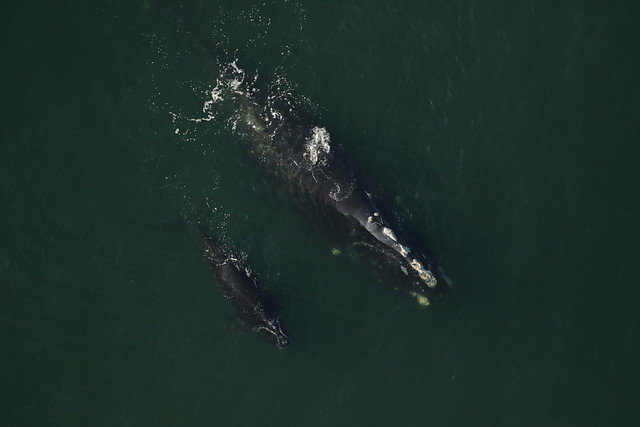 12-year-old mother with calf