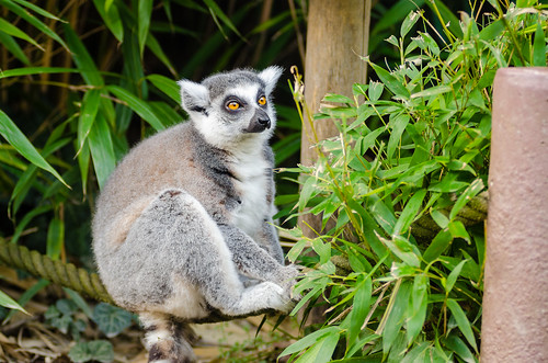 Ring-Tailed Lemur Dad