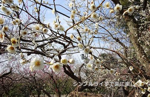 北野天満宮梅苑2016、月の桂