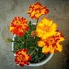 Companion plant #marigold #flowers #gardening #organic #pestcontrol