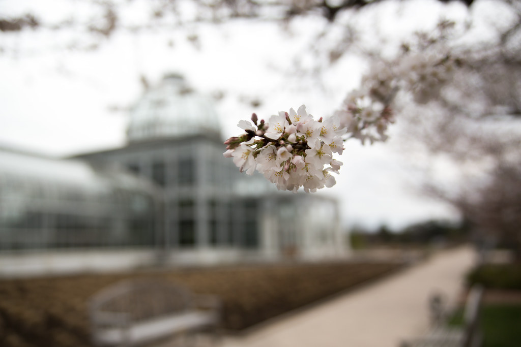 Cherry Blossoms with Conservatory