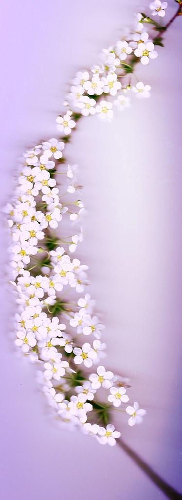 Blütenzweig -- Brautspiere