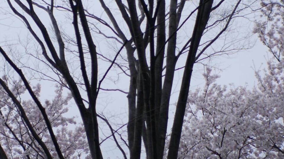 桜の木の幹