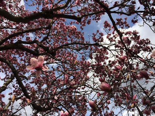 magnolias 02