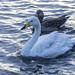 Cisnes en Lago Tjornin