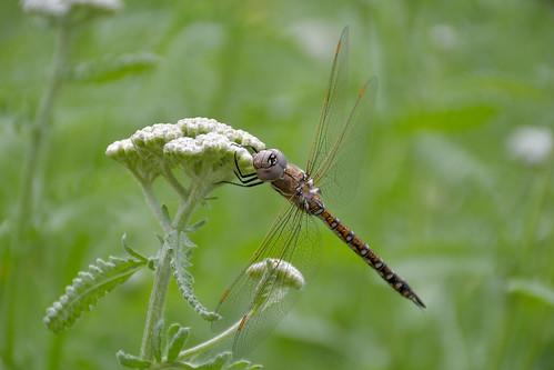 eechillington nikond7500 viewnxi insect redbuttegardens nature flower saltlakecity