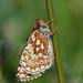 Marsh Fritillary (Euphydryas aurinia).... by festoon1