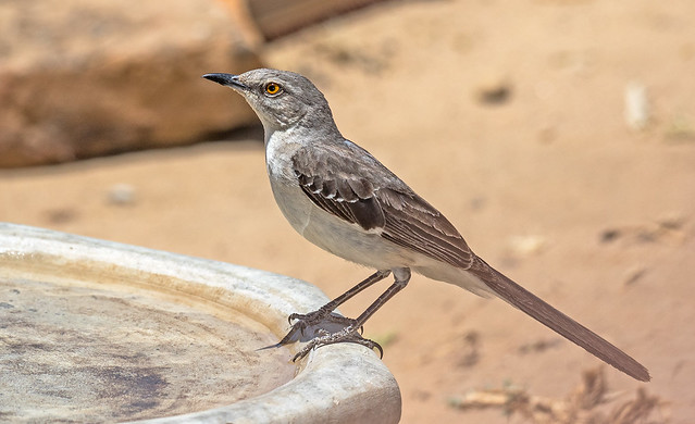 Mocking-Bird-3-7D2-060718