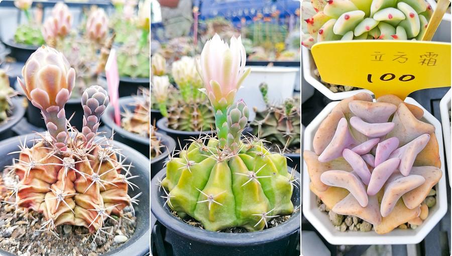 蘭心花卉 多肉植物01