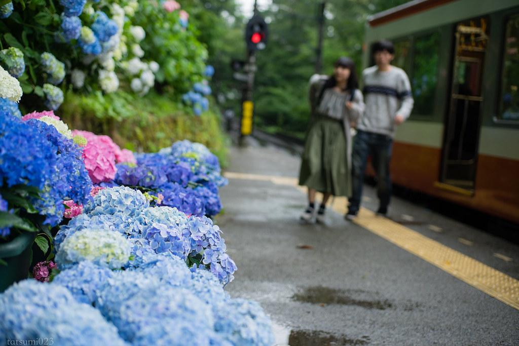 2018-06-15 箱根登山鉄道と紫陽花 005-2