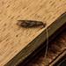 Caddisfly - Mystacides longicornis
