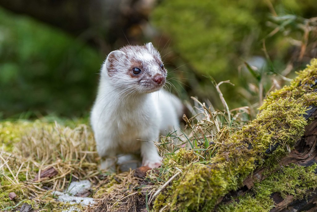 Stoat in ermine 2