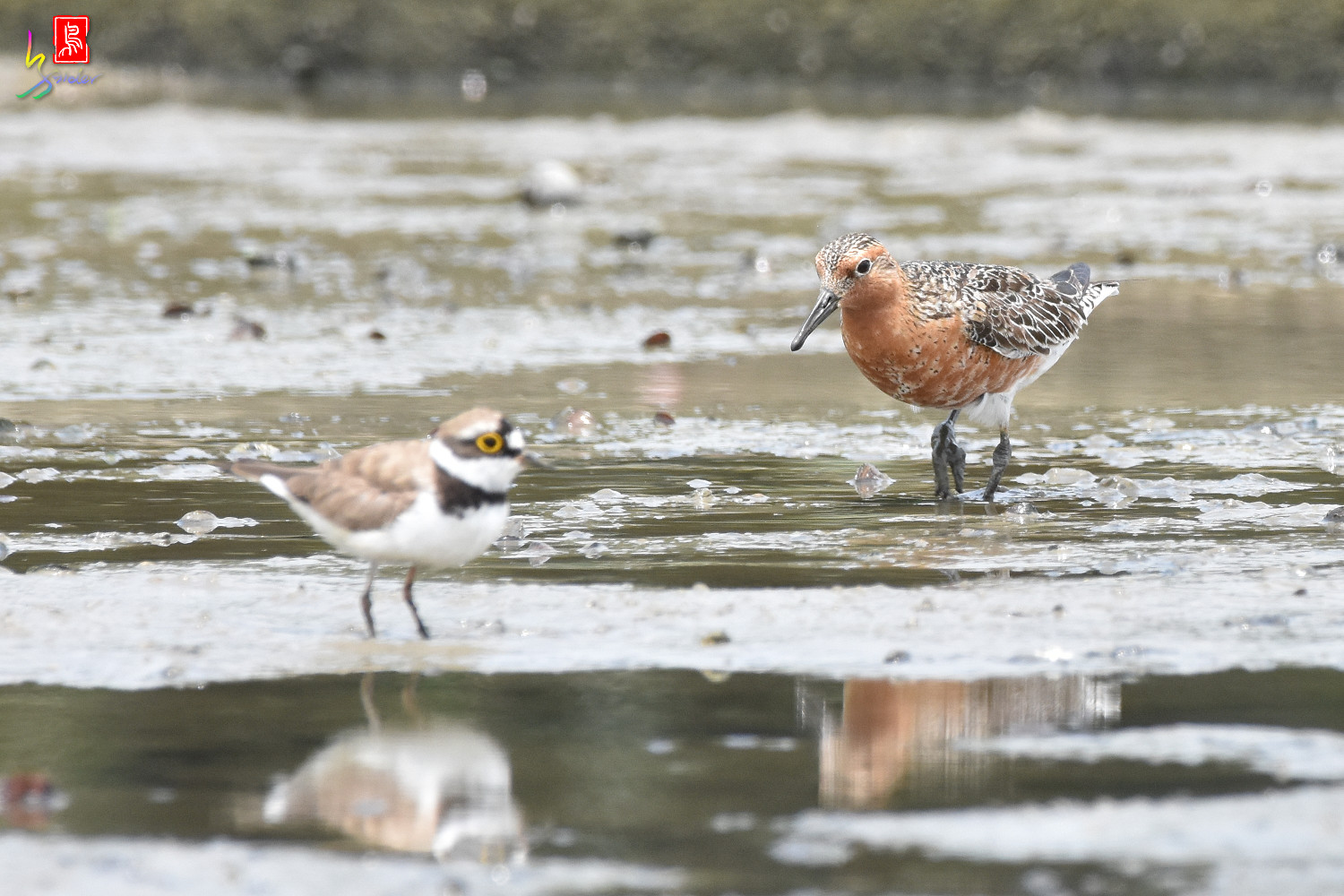 Red_Knot_1285