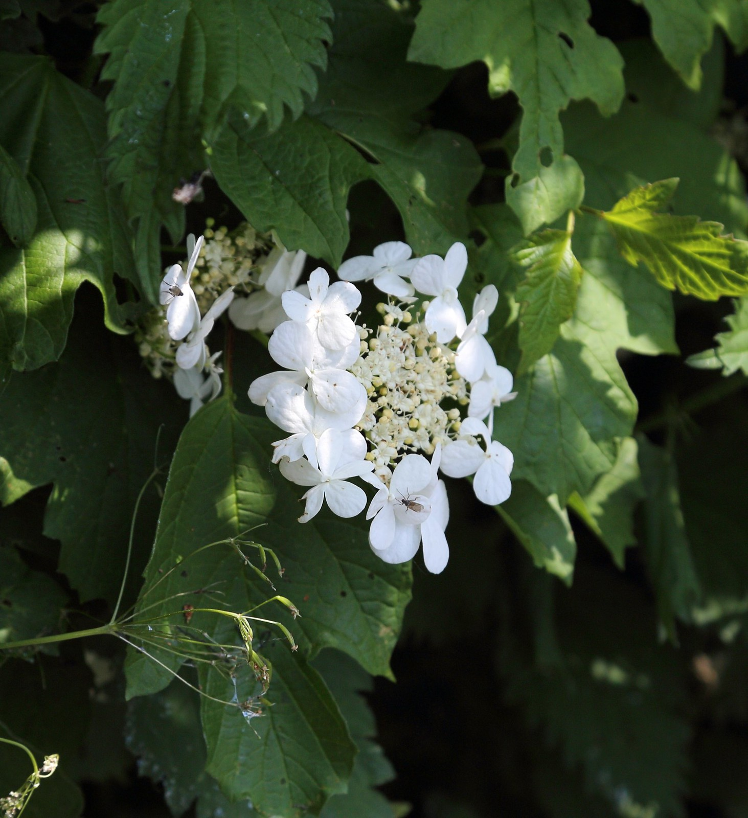 Guelder Rose - Otford to Eynsford Walk