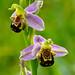 DSC02539 BEE ORCHID MOUNTBATTEN