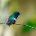 Stripe-tailed Hummingbird por rolando chdm