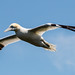 Gannet in flight , Bempton Cliffs