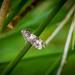 Thistle Bell - Epiblema scutulana
