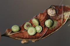 Hackberry Rosette Gall (Celticecis capsularis) on Celtis laevigata, Trophy Club Park, TX, 5-30-18