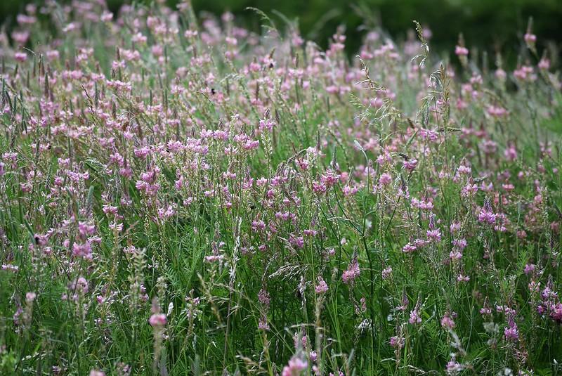 Wild Flowers 29.05 (2)
