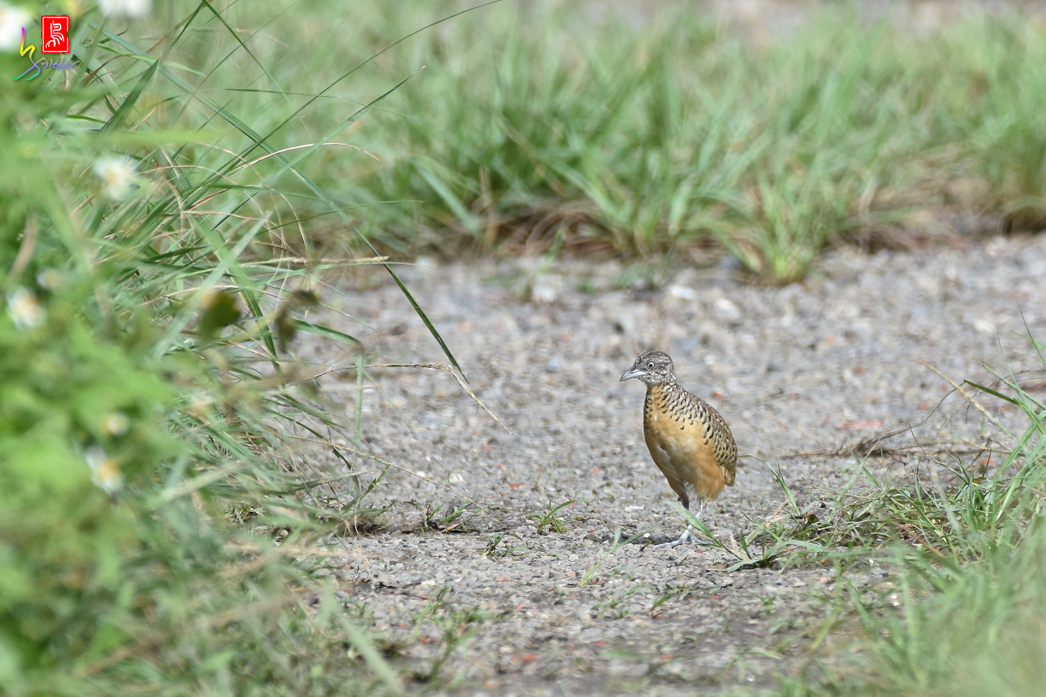 Barred_Buttonquail_4542