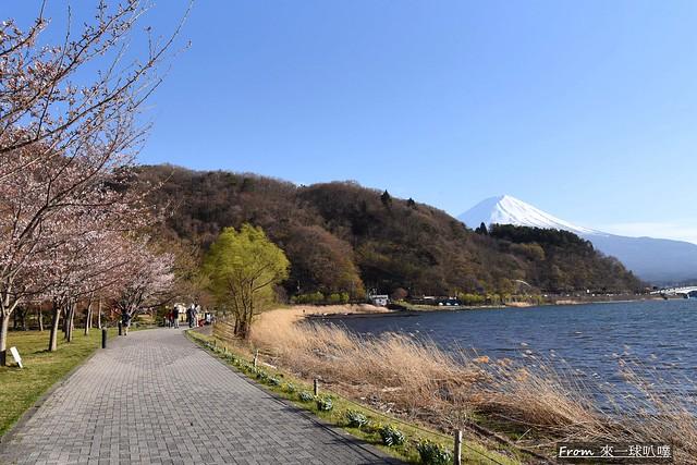 富士山河口湖櫻花季主會場08