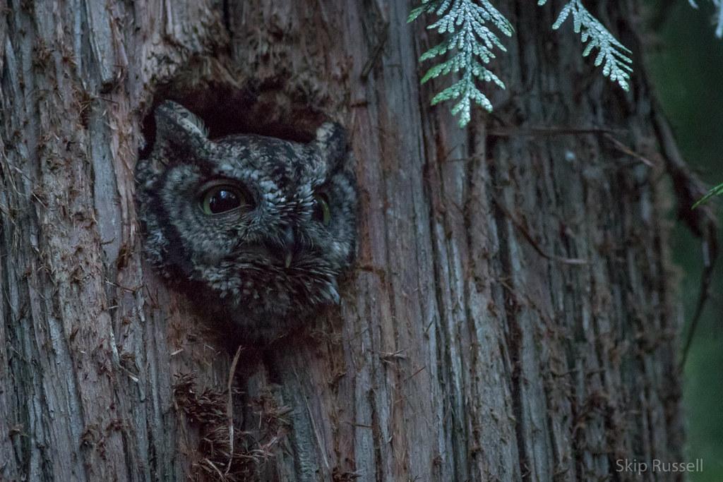 Western Screech-Owl.