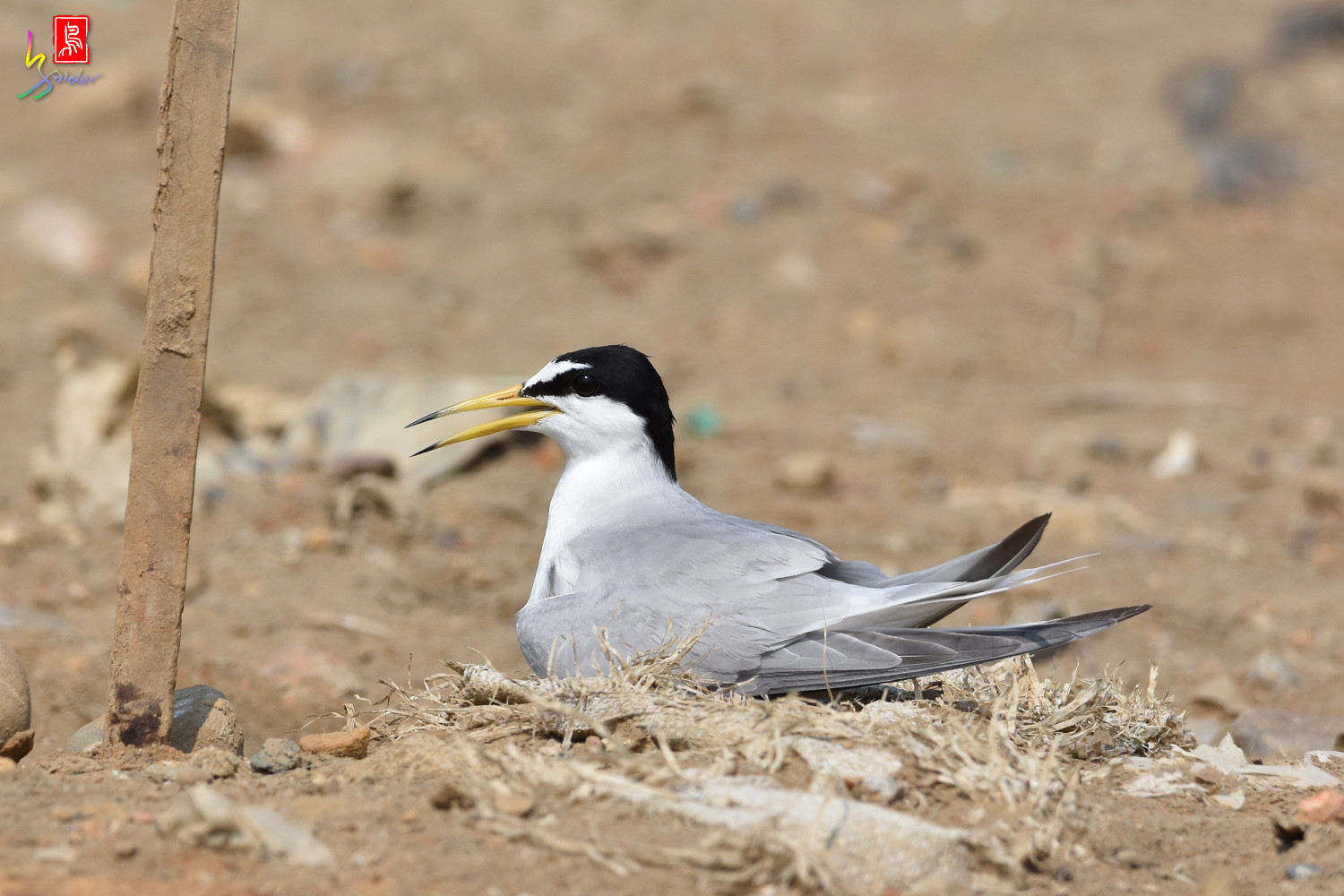 Little_Tern_0132