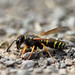 Mason (or potter) wasp