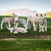 Lambs.jpg