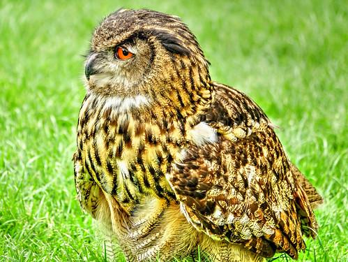 Freind Jann's Eagle Owl...