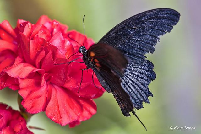Schmetterling - 06041812