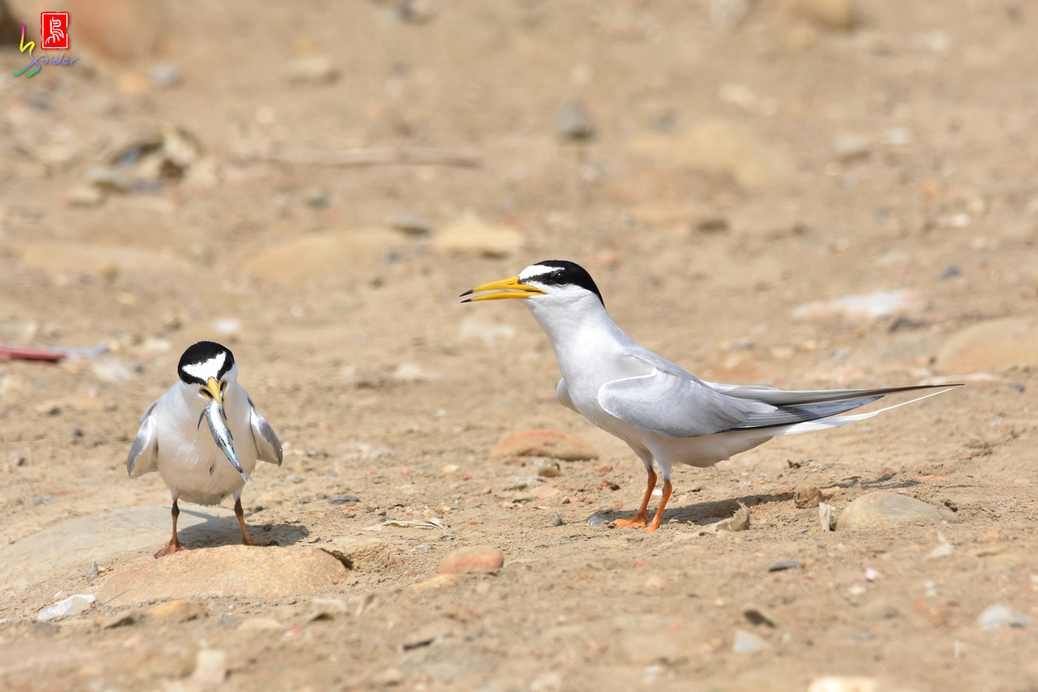 Little_Tern_9897