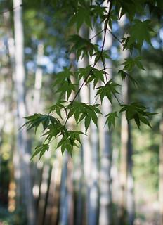maple&bamboo