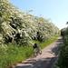 Hawthorn splendour, Nottinghamshire.
