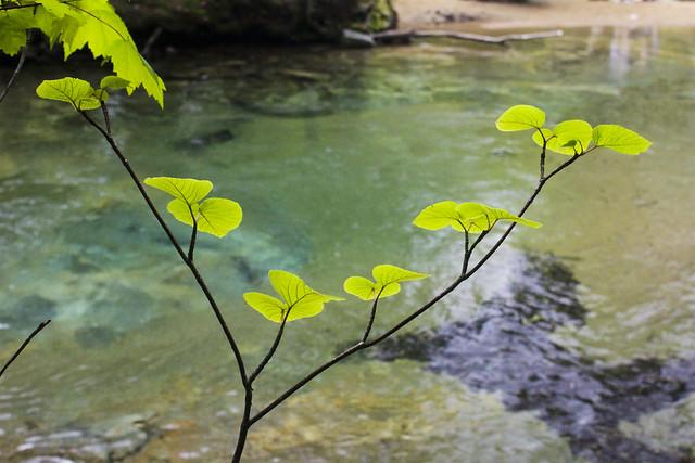 Hobblebush by the Pemigewasset River, NH