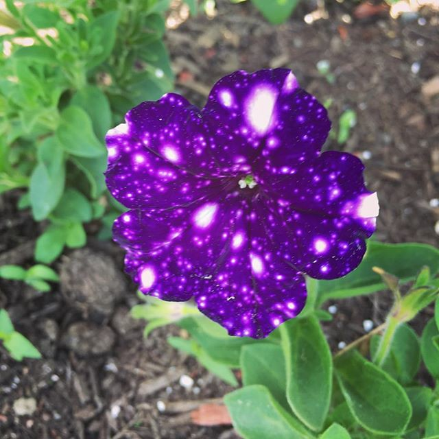 Woodchucks really did a number on this #petunia when I first got it but it has come back after moving to the #flowerbedbed. 🌌