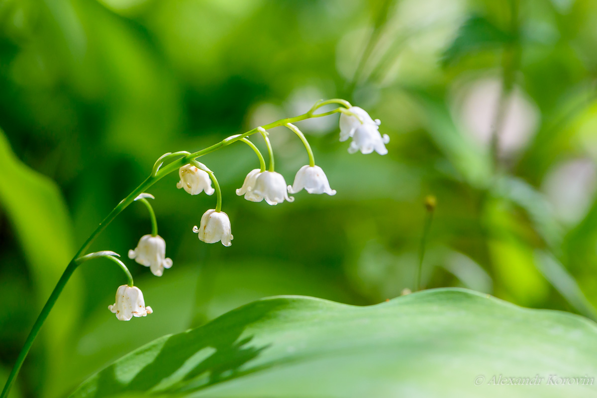 May lilies of the valley blossom with white buds in the form of bells